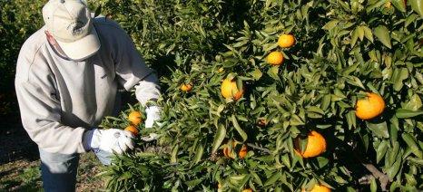 Ανάλυση από το Γ. Τσιφόρο: Η μειωμένη συγκομιδή πορτοκαλιών σε Ισπανία και Ιταλία δεν επαρκεί για να αυξηθούν οι τιμές
