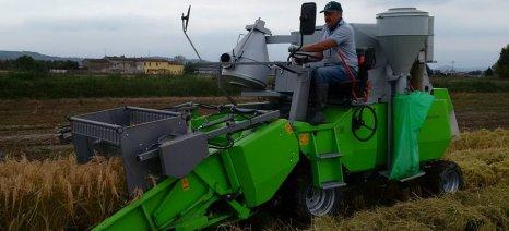 Για δύο συνεχόμενα χρόνια οι παραγωγοί ρυζιού πουλάνε σε τιμές οριακά κάτω από το κόστος της καλλιέργειας