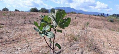 Ολοκληρώθηκε πρόγραμμα για ποικιλίες συκιάς με χρηματοδότηση από το Ιδρυμα Καπετάν Βασίλη και Κάρμεν Κωνσταντακόπουλου