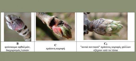 Επέμβαση με παραφινέλαια συνιστούν οι γεωπόνοι κατά της ψώρας του San José στις μηλιές
