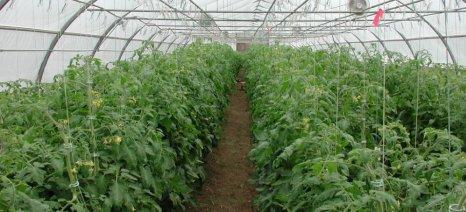 Συστάσεις για τις ασθένειες στην ντομάτα θερμοκηπίου