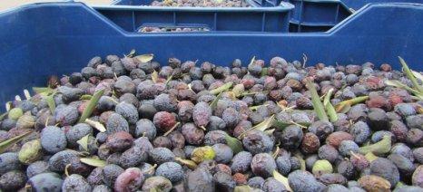 Αυξάνει η ελαιοπαραγωγή, μειώνονται οι καλλιεργητές στη Θράκη