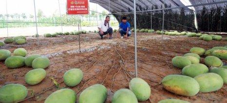 Ρεκόρ παραγωγής καρπουζιών από ένα μόνο φυτό - ποια τεχνική χρησιμοποίησαν οι Κινέζοι