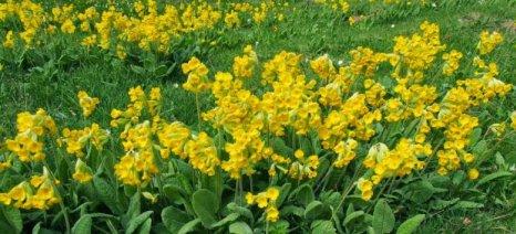 Καμπανάκι για τα αυτοφυή αρωματικά φυτά της Ηπείρου από παράνομες αποψιλώσεις