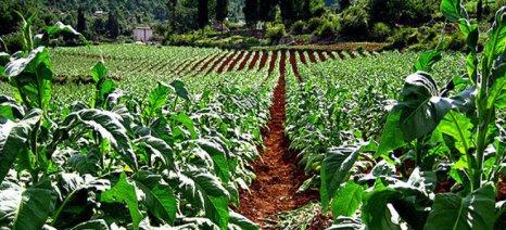 Στο κανονικό καθεστώς ΦΠΑ μικροί καπνοπαραγωγοί λόγω de minimis