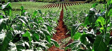 Επιστολή στον ΕΛΓΑ για αποκατάσταση ζημιών στις καπνοκαλλιέργειες της Πιερίας