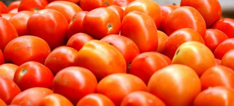 Συνδεδεμένη ενίσχυση: Ελάχιστο όριο η παράδοση 50 τόνων βιομηχανικής ντομάτας στα εργοστάσια