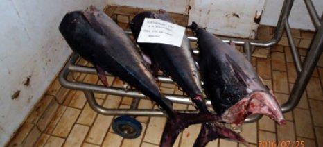 Πρόστιμο για την παράνομη ψαριά κόκκινου τόνου στη Μαρώνεια