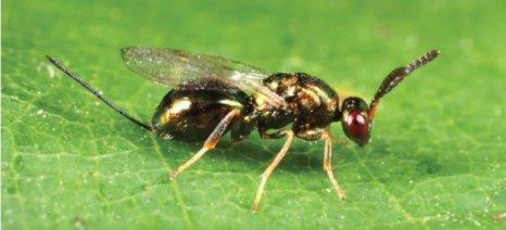Ωφέλιμο έντομο κατά της σφήκας της καστανιάς εξαπόλυσαν οι γεωπόνοι του ΥΠΑΑΤ στην Ευρυτανία