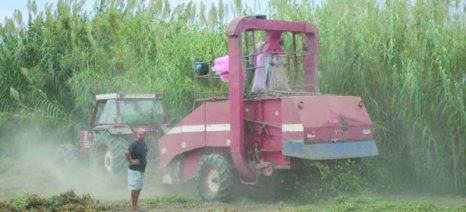 Συνεχίζεται στον Μπουρνιά Μεσσηνίας η συγκομιδή φιστικιού