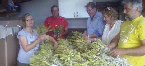 Τα 1000 στρέμματα ξεπέρασε το καλλιεργούμενο τσάι Ολύμπου στην Πιερία