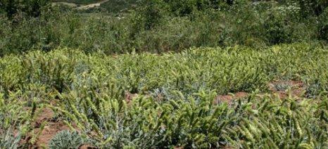 Σύμπραξη Δήμου Κοζάνης και ΕΛΓΟ – Δήμητρα για την ανάδειξη και διαπίστευση Αρωματικών Φαρμακευτικών φυτών της Κοζάνης
