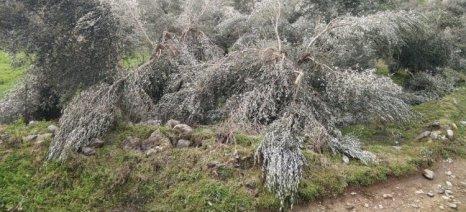Πληγωμένους ελαιώνες άφησε πίσω του ο πρόσφατος χιονιάς στην Κρήτη