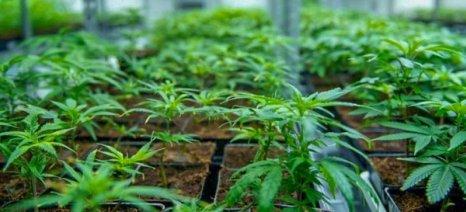 Τριάντα επενδυτικές προτάσεις για βιομηχανική και φαρμακευτική κάνναβη