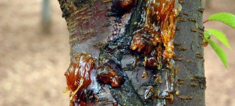 Οι ασθένειες του χειμώνα στα πυρηνόκαρπα και τι να προσέξετε