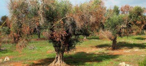 «Καμπανάκι» για εξάπλωση της ξυλέλλα που σκοτώνει τις ελιές από την EFSA