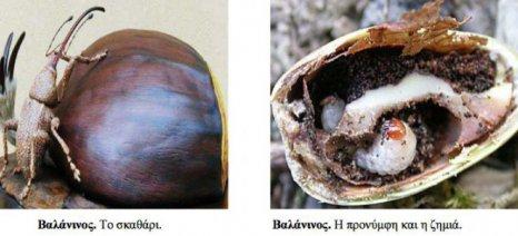 Πώς αντιμετωπίζονται τρεις εχθροί των καστάνων: Βαλάνινος, σκουλήκι και καρπόκαψα