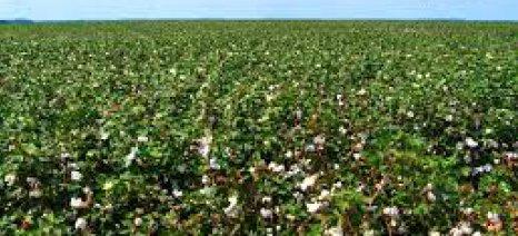 Δεν έχουν πάρει ακόμη τις αποζημιώσεις οι βαμβακοπαραγωγοί Ημαθίας
