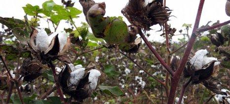 Σε μέτρια επίπεδα οι αποδόσεις των βαμβακοφυτειών στο νομό Καρδίτσας εξαιτίας των βροχοπτώσεων