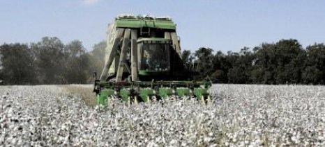Από τα 74,9 στα 64,6 ευρώ ανά στρέμμα η συνδεδεμένη βάμβακος λόγω αύξησης εκτάσεων
