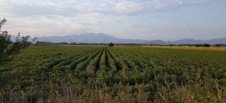 Σε ορισμένες περιοχές της Λάρισας εντοπίστηκε ρόδινο σκουλήκι στα βαμβάκια, πάνω από το όριο επέμβασης