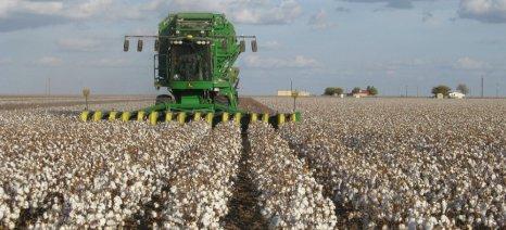 Μειωμένες οι αποδόσεις στα ξηρικά βαμβακοχώραφα της Ροδόπης - αναμένεται με ενδιαφέρον η συγκομιδή στα ποτιστικά