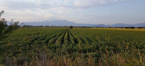 Προειδοποίηση γεωπόνων για κίνδυνο σηψιρριζίας σε βαμβακοχώραφα στον κάμπο της Δράμας