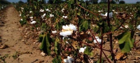 Μειωμένη είναι η φετινή παραγωγή βάμβακος στην Ροδόπη