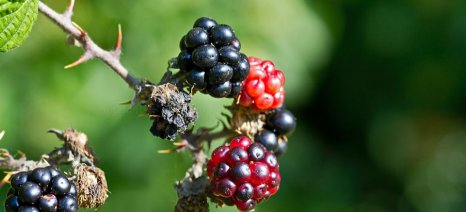 Οι δυσκολίες και τα μυστικά της καλλιέργειας βατόμουρων