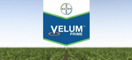 Κατά παρέκκλιση άδεια στο Velum Prime για την καταπολέμηση του νηματώδους στο σκόρδο