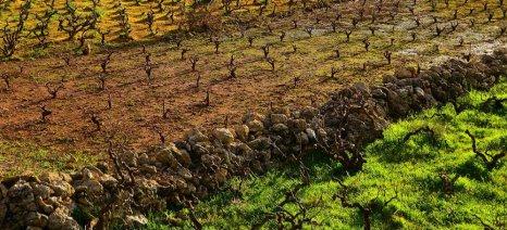 Ελάχιστα νέα δικαιώματα φύτευσης αμπελώνων θα δοθούν στην Καρδίτσα