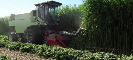 Ετοιμάζεται η πρώτη καλλιέργεια βιομηχανικής κάνναβης στην Ηλεία