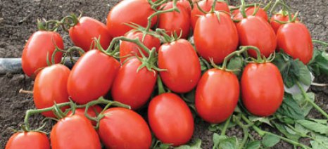 Εκδήλωση σήμερα για τη βιομηχανική ντομάτα από την Pioneer στη Νίκαια Λάρισας