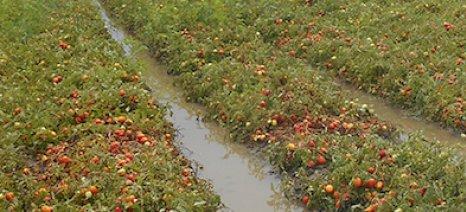 Ανοίγουν εσπευσμένα τα εργοστάσια τοματοπολτού στην Ηλεία