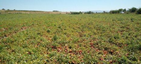 Αυξημένη η συνδεδεμένη ενίσχυση για τη βιομηχανική ντομάτα του 2016 - στα 63,39 ευρώ/στρέμμα