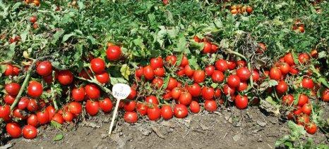 Μειωμένη η τιμή και η παραγωγή της βιομηχανικής ντομάτας στον κάμπο