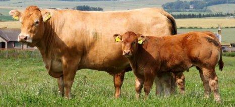 Οζώδης δερματίτιδα: Θέτουν όρους για τη θανάτωση των ζώων τους οι κτηνοτρόφοι του Έβρου