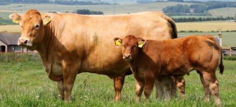 Αρχίζει ο β΄ κύκλος εμβολιασμού των βοοειδών στην Ανατολική Μακεδονία-Θράκη κατά της οζώδους δερματίτιδας