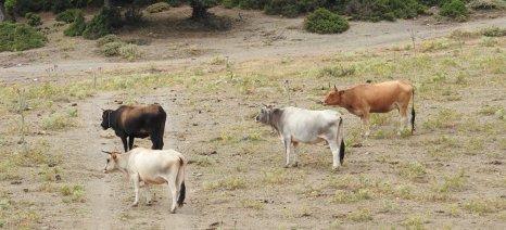 Μείωση 4,9% καταγράφηκε στον αριθμό των βοοειδών που εκτρέφονται στην Ελλάδα