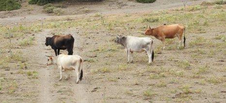 Προϋπόθεση για τη συνδεδεμένη ενίσχυση στο βόειο κρέας τα έξι θηλυκά βοοειδή 18 μηνών έως 12 ετών