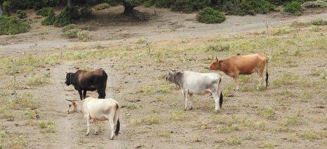 Διαμαρτύρονται και οι κτηνοτρόφοι της Δράμας για τα κριτήρια κατανομής των de minimis από τον παγετό