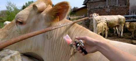Την επέκταση της οζώδους δερματίτιδας φοβούνται οι βουλγαρικές αρχές
