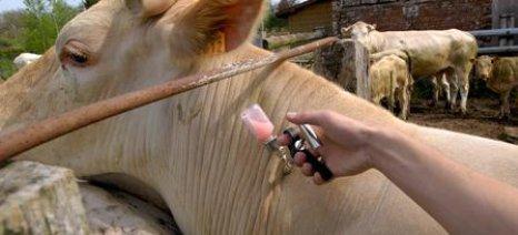 Ετήσιο επανεμβολιασμό όλων των βοοειδών για την οζώδη δερματίτιδα συστήνουν οι κτηνίατροι