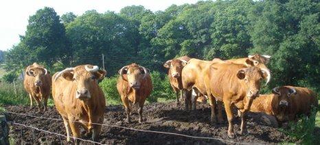 Μέχρι 31 Δεκεμβρίου θα πρέπει να έχουν εμβολιαστεί όλα τα βοοειδή κατά της οζώδους δερματίτιδας