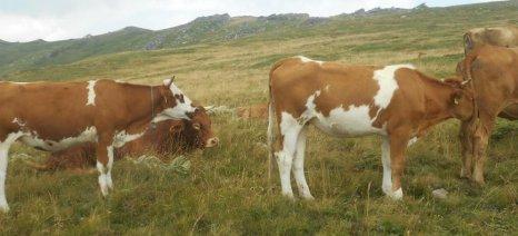 Ποια είναι η διαφορά μεταξύ της διατροφής βοοειδών με σιτηρά και με βοσκή