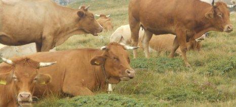 Στα 192,5 ευρώ ανά επιλέξιμο θηλυκό ζώο η συνδεδεμένη ενίσχυση για το βόειο κρέας