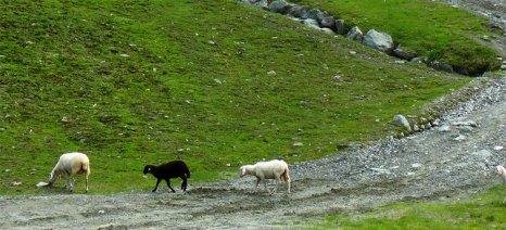 Τα χρήματα για τις επιδοτήσεις των κτηνοτρόφων είναι τα ίδια, ανεξάρτητα από τα επιλέξιμα στρέμματα βοσκότοπων