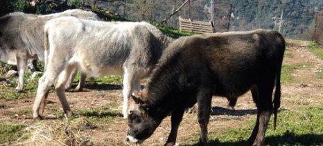 Καθ΄οδόν πληρωμές για το πρόγραμμα Γενετικών Πόρων στην κτηνοτροφία