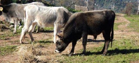 Στα 247,90 ευρώ για βοοειδή και 46,40 ευρώ για αιγοπρόβατα η συνδεδεμένη ενίσχυση των κτηνοτρόφων