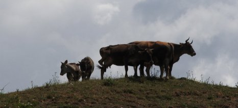 Τις 68 έφτασαν οι εστίες της οζώδους δερματίτιδας στην Ανατολική Μακεδονία-Θράκη
